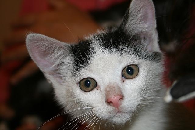 kitten-688665_640 (2)