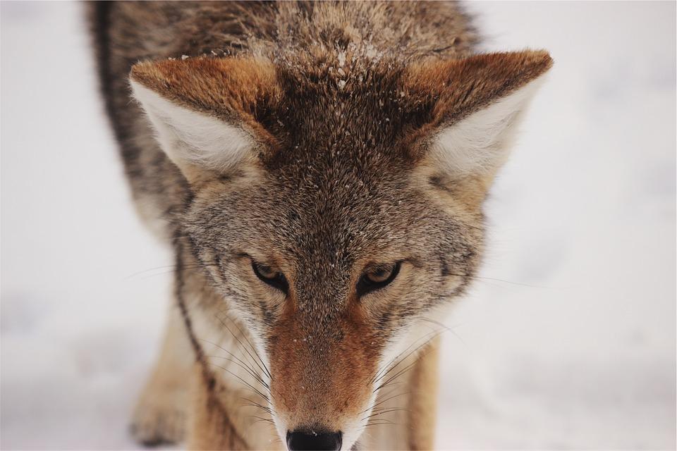 coyote-593160_960_720
